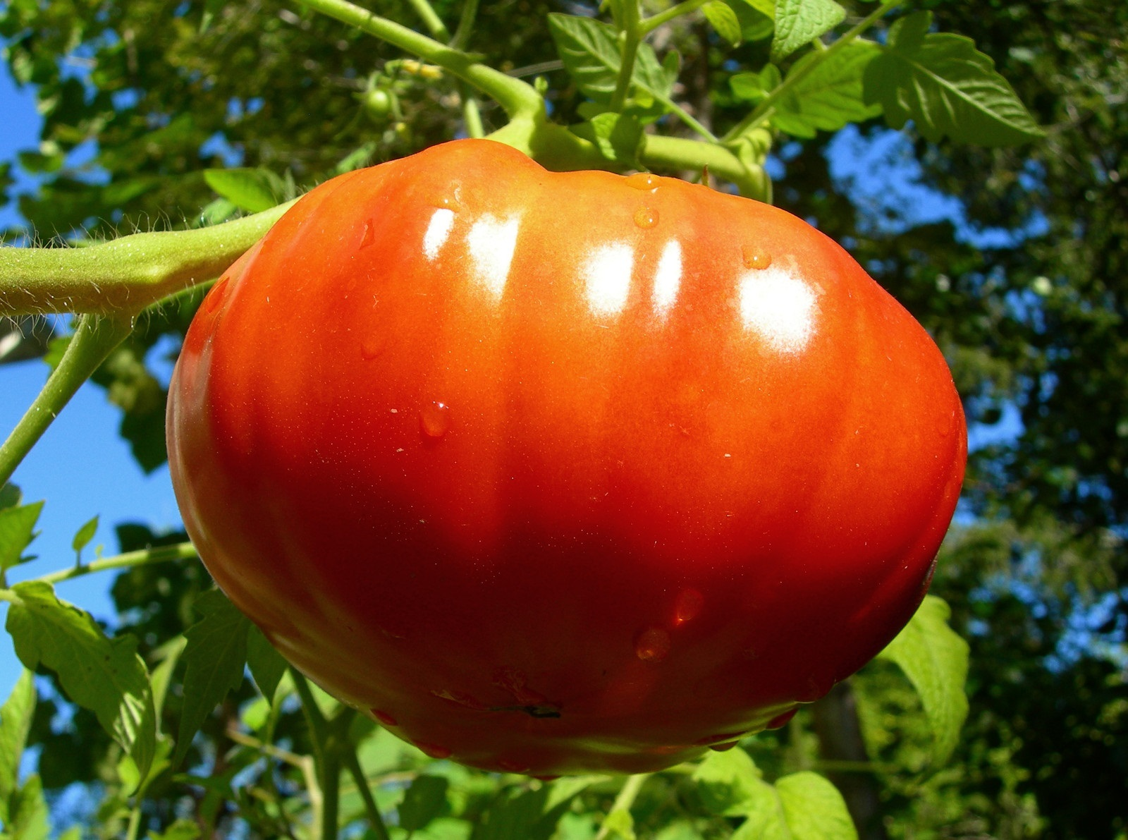 Ten Tips to Growing Prize Winning Tomatoes